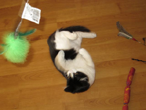 Alfie considers a wide variety of cat toys.